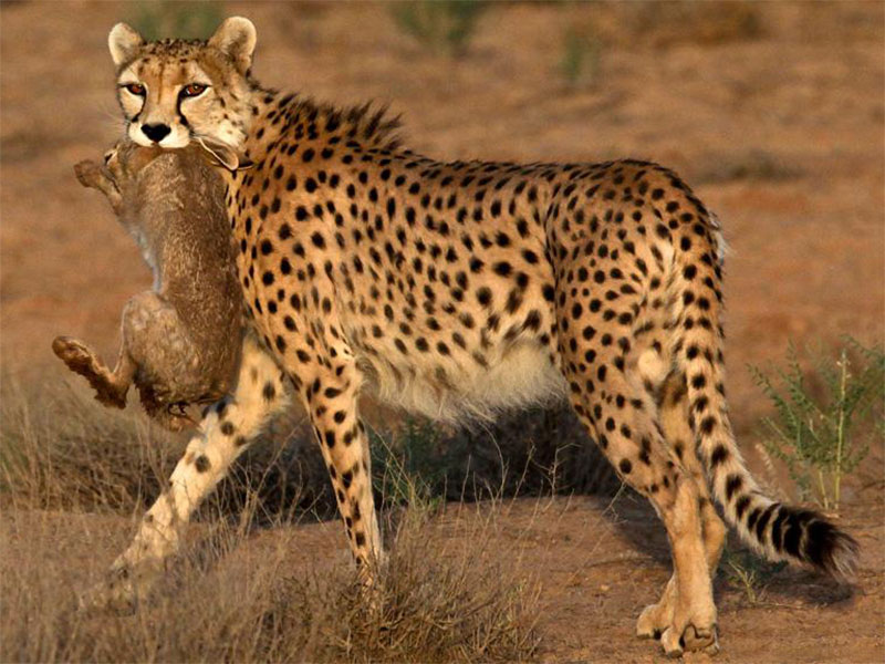 Asiatic-Cheetah-Kavir national park