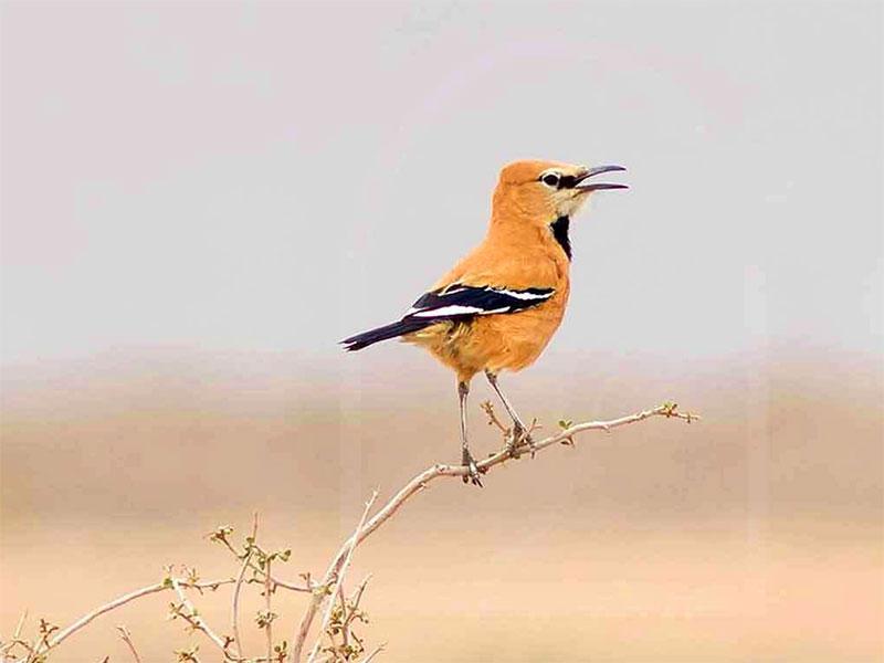 Podoces pleskei, Birdwatching in Iran